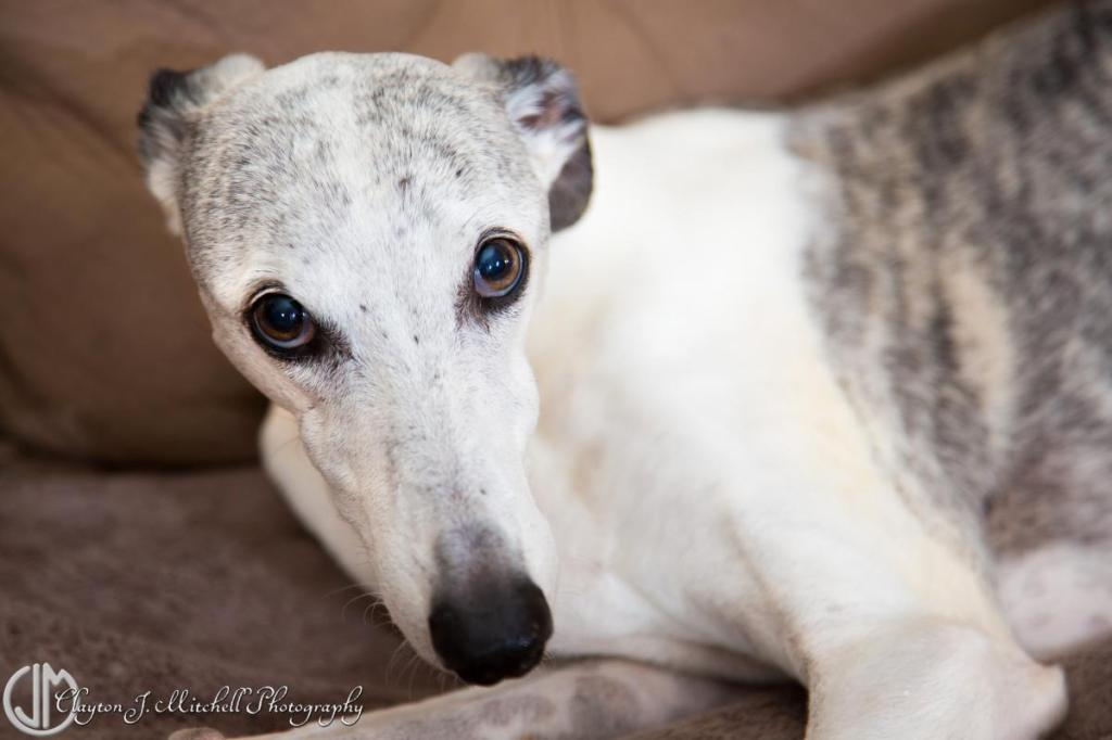 dog_photography_whippet